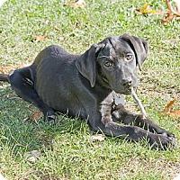 Adopt A Pet :: Amazing Artemis - Brooklyn, NY