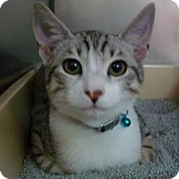 Domestic Shorthair Cat for adoption in Miami, Florida - Pluto