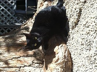 Domestic Shorthair Cat for adoption in Sherman Oaks, California - Momma