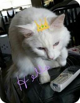 Turkish Angora Cat for adoption in Medford, New Jersey - Princess
