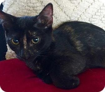 Domestic Shorthair Kitten for adoption in Gilbert, Arizona - Fiona