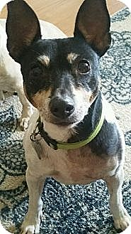 Toy Fox Terrier Dog for adoption in Washington DC, D.C. - Billy