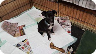 Labrador Retriever/German Shepherd Dog Mix Puppy for adoption in Forest Hill, Maryland - Darwin
