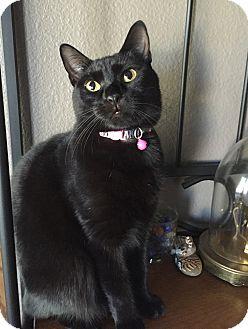 Domestic Shorthair Cat for adoption in Schertz, Texas - Twilight KS