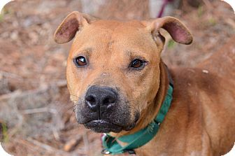 Pit Bull Terrier Mix Dog for adoption in Brooksville, Florida - TOBY