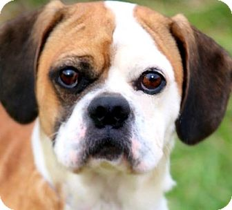 "Pug/Beagle Mix Dog for adoption in Wakefield, Rhode Island - CHIBBS(ADORABLE LITTLE ""PUGGLE"