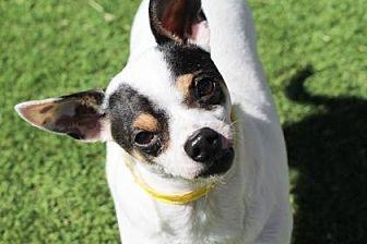Chihuahua Mix Dog for adoption in Colorado Springs, Colorado - Cooper