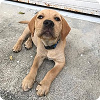 Adopt A Pet :: Captain - North East, FL