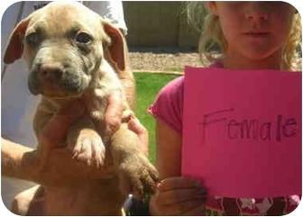Pit Bull Terrier Puppy for adoption in Mesa, Arizona - Raya