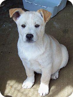 Labrador Retriever/Shepherd (Unknown Type) Mix Puppy for adoption in Glastonbury, Connecticut - MACK