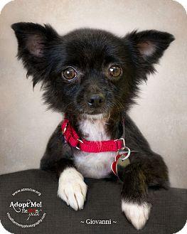 Chihuahua Mix Dog for adoption in Phoenix, Arizona - Giovanni