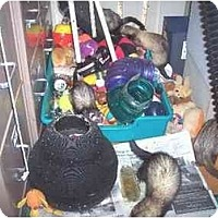 Ferret for adoption in Balch Springs, Texas - Various ferrets