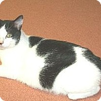 Domestic Shorthair Cat for adoption in Watsontown, Pennsylvania - Casey