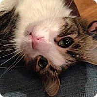 Adopt A Pet :: Koty - Tustin, CA
