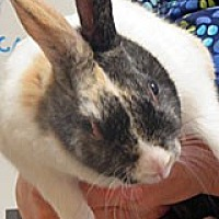 Adopt A Pet :: Mr. Hopplebuns - Wildomar, CA