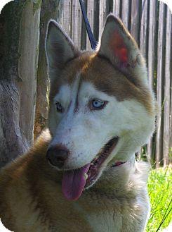 Siberian Husky Dog for adoption in Orange Park, Florida - NIKITA