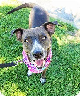 Pointer/Labrador Retriever Mix Dog for adoption in Umatilla, Florida - Baby