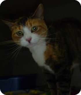 Domestic Shorthair Cat for adoption in Hamburg, New York - Fawn
