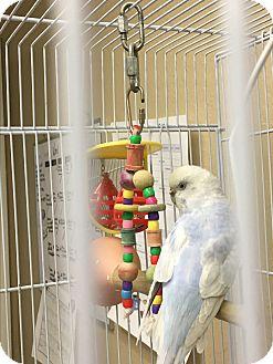 Parakeet - Other for adoption in Punta Gorda, Florida - Elmira