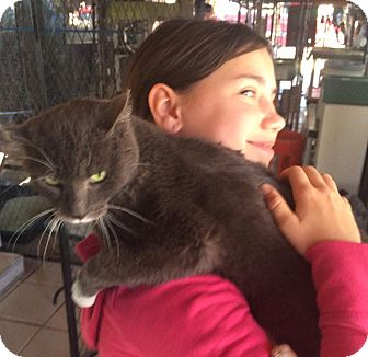 Domestic Shorthair Cat for adoption in Gilbert, Arizona - Autumn