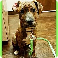 Adopt A Pet :: Scrabble - Elburn, IL