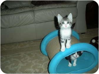 Domestic Shorthair Kitten for adoption in Huffman, Texas - Tillie