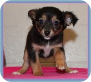Chihuahua Mix Puppy for adoption in Allentown, Pennsylvania - Opal