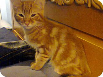 Domestic Shorthair Kitten for adoption in Seminole, Florida - Winky