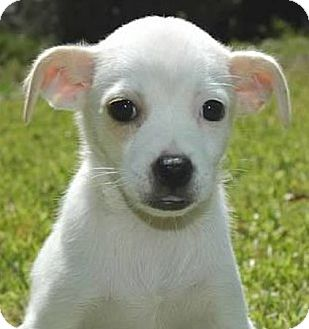 Beagle/Jack Russell Terrier Mix Puppy for adoption in La Habra Heights, California - Annabeth