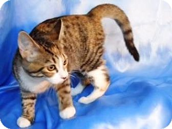 Domestic Shorthair Cat for adoption in Sarasota, Florida - Wilma
