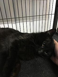Domestic Shorthair Cat for adoption in Bourbonnais, Illinois - Lucky
