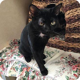 Domestic Shorthair Kitten for adoption in Westminster, California - Mocha