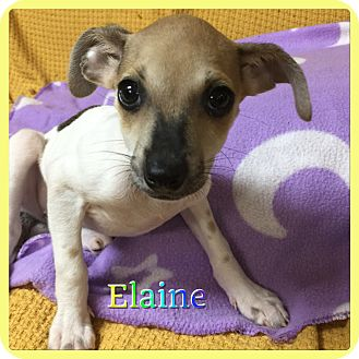 Chihuahua/Miniature Pinscher Mix Puppy for adoption in Hollywood, Florida - Elaine