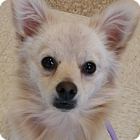 Adopt A Pet :: Simba-adoption pending - Schaumburg, IL