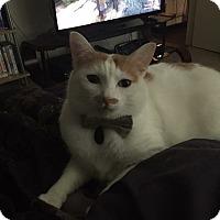 Domestic Shorthair Cat for adoption in Covington, Louisiana - Link