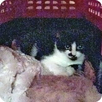 Domestic Shorthair Kitten for adoption in Mississauga, Ontario, Ontario - Little Artie