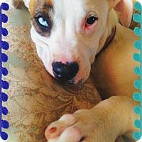 Adopt A Pet :: JUNIOR - Playful pup! - Chandler, AZ