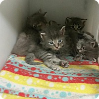 Adopt A Pet :: MOM and KITTENS - Raleigh, NC