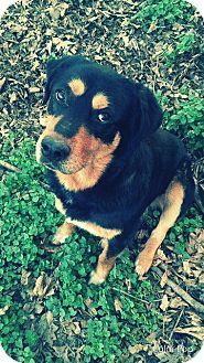 Labrador Retriever/Rottweiler Mix Dog for adoption in Charlotte, North Carolina - Brody