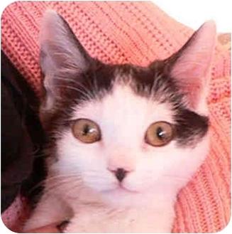 Domestic Shorthair Kitten for adoption in Putnam Valley, New York - Violet