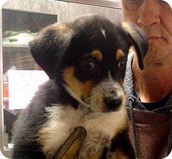Australian Cattle Dog/Husky Mix Puppy for adoption in Greencastle, North Carolina - Atlas