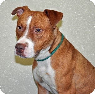 Pit Bull Terrier Mix Dog for adoption in Port Washington, New York - Mellow