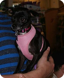 Chihuahua Mix Dog for adoption in Yuba City, California - Annabelle