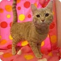 Adopt A Pet :: Rambo (luvs bellyrubs) - Arlington, VA