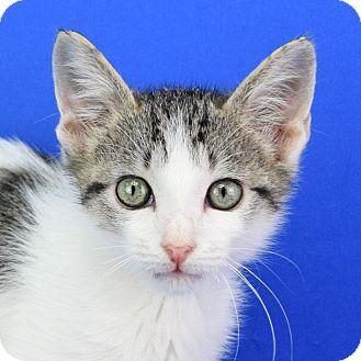 Domestic Shorthair Kitten for adoption in Carencro, Louisiana - Bourbon