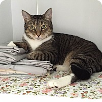 Domestic Shorthair Cat for adoption in Jersey City, New Jersey - Mimi