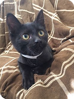 Domestic Shorthair Kitten for adoption in University Park, Illinois - Salem