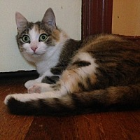 Domestic Shorthair Cat for adoption in Burlington, North Carolina - JOSEPHINE