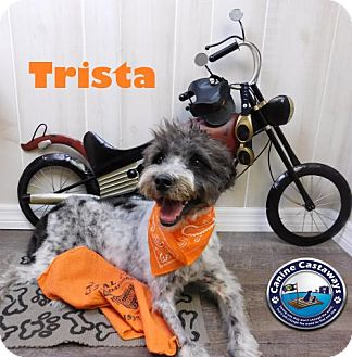Poodle (Miniature) Mix Dog for adoption in Arcadia, Florida - Trista