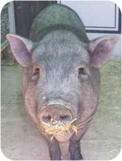 Pig (Potbellied) for adoption in Las Vegas, Nevada - Curly Q